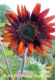 teddy Red Sunflower