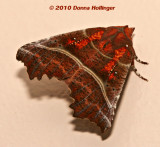 Orange and Brown Moth