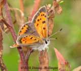 Bronze Copper (Lycaena hyllus) female