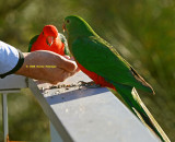 King Parrots Feeding out of Peter's hand