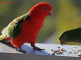 King Parrot pair
