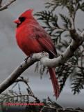 Male Cardinal on the Terrace