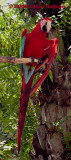 Scarlet Macaw from the Amazon