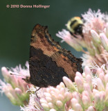 Milbert's Tortoiseshell on Joe Pye Weed