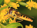 Syrphid on St john's Wort Flowers