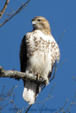 Young Redtailed Hawk Today