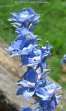 Pacific Delphinium Rebloom