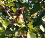 Immature Female Cardinal at my Neighbor's Fruit  tree