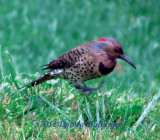Eastern Flicker