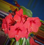 Christmas Amaryllis with Mango leaves
