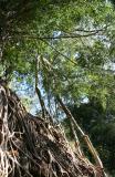 Banyan above