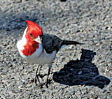 Red breasted Cardinal