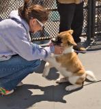 Lovely Akita Puppy