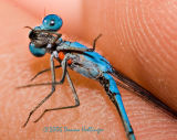 Spreadwing Damselfly with Mites