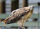 Red Tail Hawk Looking Up