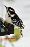 Mr. Downy Woodpecker