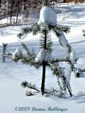 Pine Baby