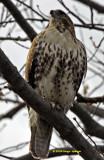 Immature Redtail Hawk