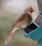 One Eyed Cardinal Female