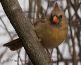 Perky Cardinal Aiming for the Feeder