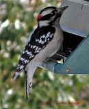 This woodpecker thinks he's a chicadee!