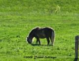 Shetland Pony Grazing