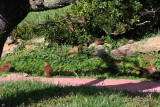 Brown Thrashers and Towhees in the Stream