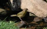 Common Yellowthroat  - juvenile
