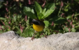 Common Yellowthroat  coming to the Stream