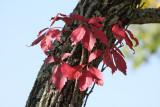 Virginia Creeper Vine in fall colors
