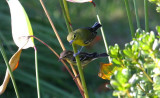 Warblers On the Move
