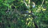 Cape May Warbler - female