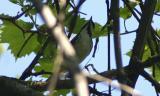 Blackpoll Warbler - male