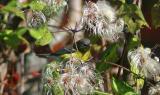 Magnolia Warbler - 1st year female