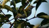 Chestnut-sided Warbler - 1st year female