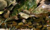 Common Yellowthroat - 1st year female