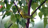 Prairie Warbler - male
