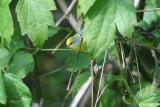 Brewster's Warbler - male