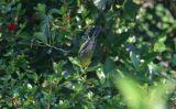 Blue-winged Warbler - male