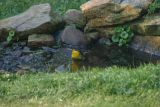 Yellow - breasted Chat