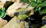 Kentucky Warbler - female