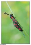 Six-Spot Burnet Moths (Zygaena filipendulae)