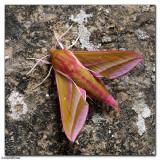 Elephant Hawk Moth (Deilephila elpenor)