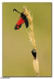 Six-Spot Burnet Moth (Zygaena filipendulae)