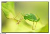 Speckled Bush-Cricket - Leptophyes punctatissima