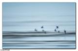 Sanderling Fly Past