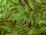 Athyrium filix-femina ssp. asplenioides