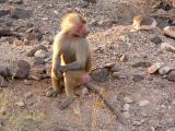 babouin secteur Oueah.jpg