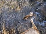 Deer on Fire Island