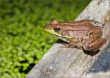 Frog on rail